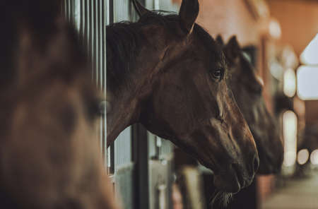 Dark Brown Horses Inside Equestrian Facility Boxes Side View. Imagens