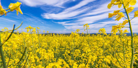 Scenic Countryside. Vibrant Yellow and Blue Flowering Rapeseed Spring Time Landscape. Panoramic Photo. 版權商用圖片