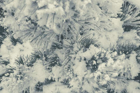 Pine Tree Covered by Frost, Snow and Ice. Winter Time Theme.