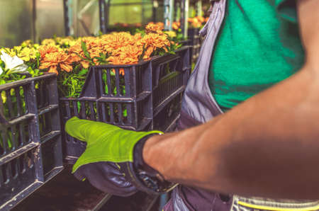 Garden Store Job. Caucasian Worker Moving Plastic Crates with Flowers. Фото со стока