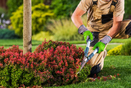 Professional Caucasian Garden Worker in His 40s Trimming Plant Branches Using Large Scissors Tool. Фото со стока