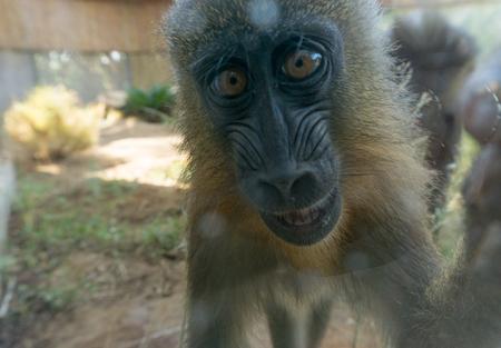 Cute baby chimpanzee close-up