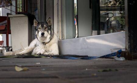 Saarloos Wolfdog on the street is waiting
