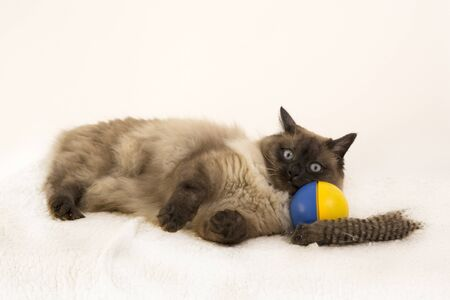 Playful Siamese kitten laying on a blue and yellow ball playing Stock fotó