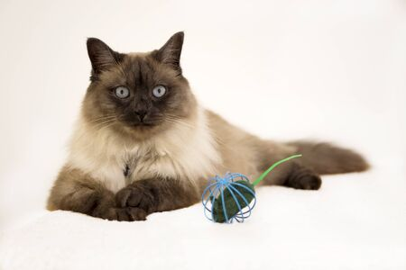 Siamese cat playing with the mouse inside metal cage on the white background