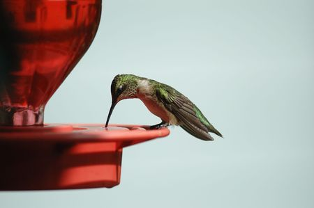 Ruby-throated hummingbird perched on a red feeder drinking necter with space for text Banco de Imagens