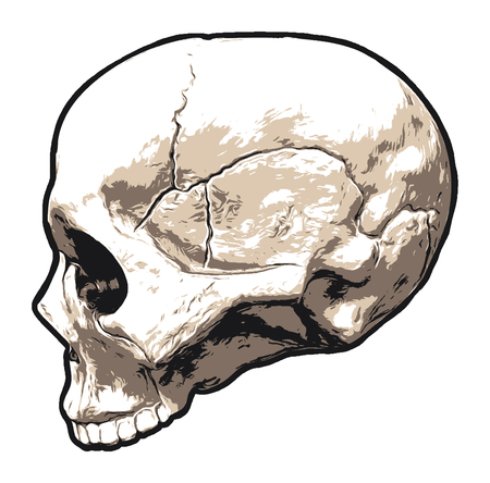 Realistic Skull, Upper Portion, Side Profile