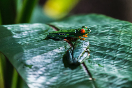 Close-up of two Red Eyed Tree Frogs on a leaf in the Finca Verde area of Costa Rica.