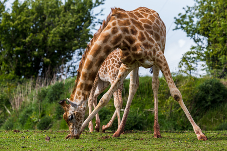 A giraffe stretches out its front legs to chew on the grass at the South Lakes Zoo in Cumbria. Stock Photo