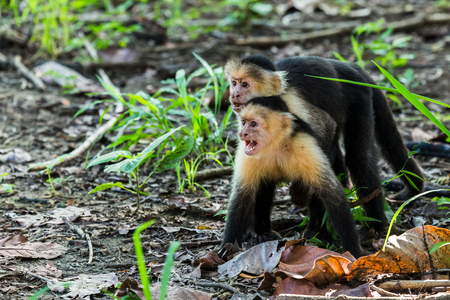 two faced: A pair of white faced capuchin show their agression towards another member of the family on the forest floor in Guanacaste, Costa Rica.