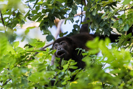 A howler monkey reaches out for a branch full of lush green leaves in a forest in Guanacaste, Costa Rica.