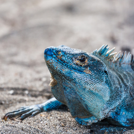 bluey: A gorgeous bluey coloured black iguana basks in the beach next to our sunbed in Guanacaste, Costa Rica.