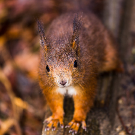 levantandose: A confident red squirrel getting up close to me at Formby.