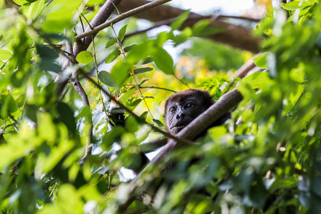 A howler monkeys face is framed by the lush green leaves of a dry forest in Costa Rica. Stock Photo