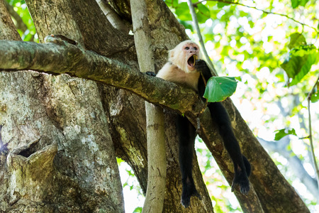 western slope: A white-faced capuchin lays high up in a tree chewing in a dry forest within Costa  Rica.