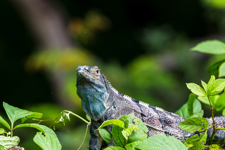 bluey: A bluey coloured black iguana lies on the top of a green bush in Guanacaste, Costa Rica.