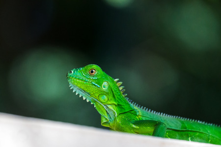 A baby Green Iguana basks on a wall next to our hotel in Costa Rica.