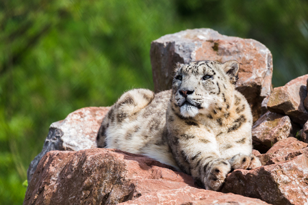 cumbria: A lone Snow Leopard lying high up on the rocks soaking up the spring sunshine at the South Lakes Zoo in Cumbria. Stock Photo