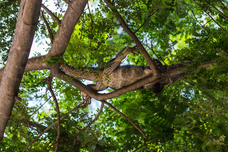 A black iguana escapes the hot volcanic sands by climbing up & chilling in a tree, above our sunbed in Costa Rica.