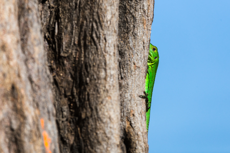 Green spiny lizard holds onto a tree as it basks one morning in Costa Rica.