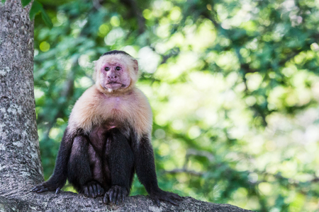 Close-up of a white faced capuchin sat on a branch in a dry forest of Guanacaste, Costa Rica.