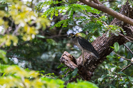 Green heron prowling the landscape from the vantage point of a tree in Costa Rica.