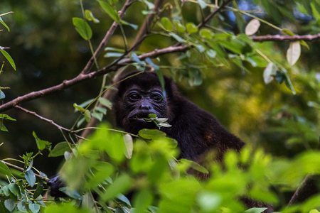A howler monkey chews on green leaves in the tree tops of a forest in Guanacaste, Costa Rica.
