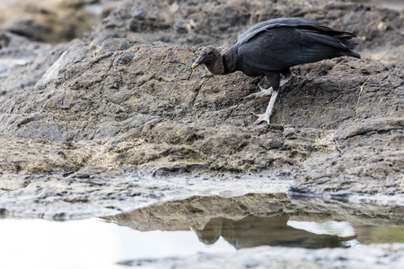 scavenging: Black Vulture foraging in the rock pools on the coastline of Guanacaste, Costa Rica.