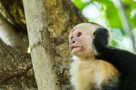 White faced capuchin seen up in a tree one morning scratching its ear in Guanacaste, Costa Rica. Stock Photo