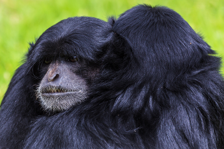 siamang: Two Siamangs holding one another in the grass captured during the summer of 2016.
