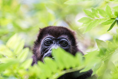 western slope: A howler monkey pauses whilst eating in the tree tops in Guanacaste, Costa Rica. Stock Photo