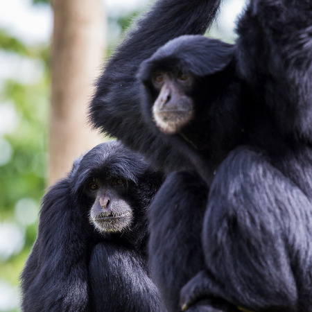 siamang: Tightly cropped image of a pair of Siamangs up high Stock Photo