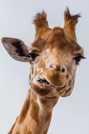 West African giraffe seen chewing