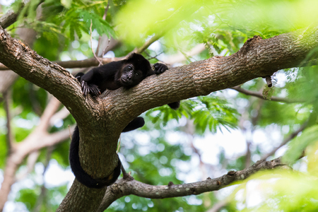 A howler monkey wraps its tail around a branch as it relaxes after a big feed in the treetops of Costa Rica.