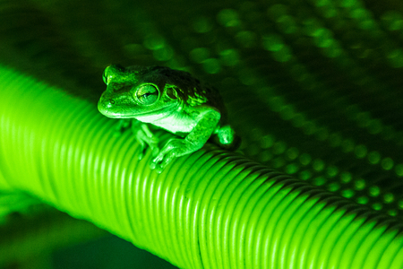 A frog lit up by green artifical light on a chair in a hotel in Cuba.