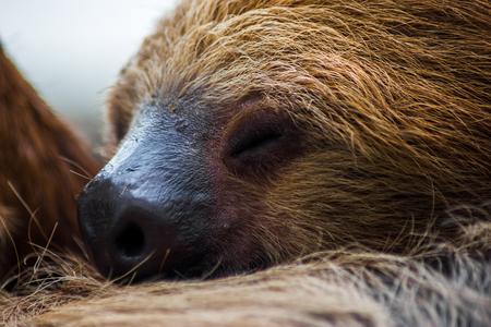 oso perezoso: Primer plano de un perezoso snoozing.