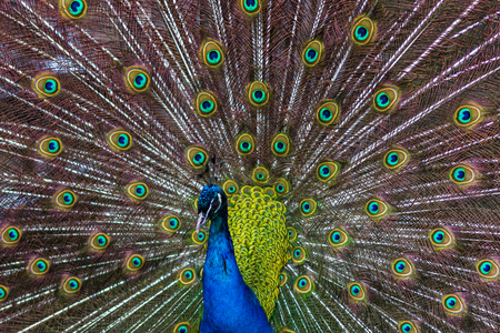 Finally managed to capture a colourful peacock with its wings out at Bowland Wild Boar Park.