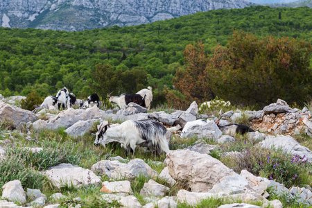 srd: Goats pictured on top of Mount Srd.  Its a world apart from the hustle and bustle of the busy historic streets of Dubrovnik just down the mountain slope.