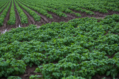An intentional tilted shot of the lines of potato plants growing in the soil, captured in a field near Liverpool.
