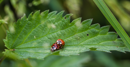 Macro of a pair of ladybirds mating on a leaf near Liverpool.