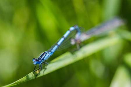 Common Blue Damselfly pair mating on a long blade of grass in the sunshine in Lancashire, England.