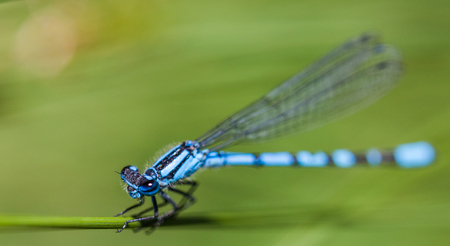 Extreme close-up of a Common Blue Damselfly roosts a grass stem in a nature reserve in Lancashire.
