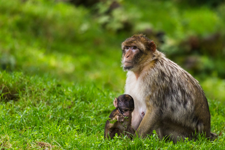 many babies: A mother Barbary macaque sits by its babys side as it picks up things on the forest floor in Staffordshire, England. Stock Photo