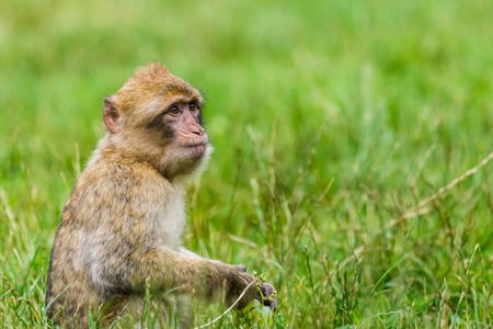 An infant Barbary macaque clutches a bunch of grapes as he enjoys a snack in the long grass in a forest in Staffordshire, England.