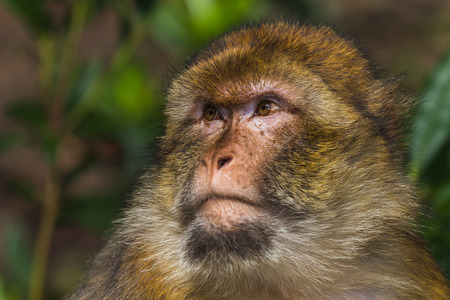 barbary: The face of an adult Barbary macaque (seen in a forest in Staffordshire, England) fills the frame during the summer of 2017. Stock Photo