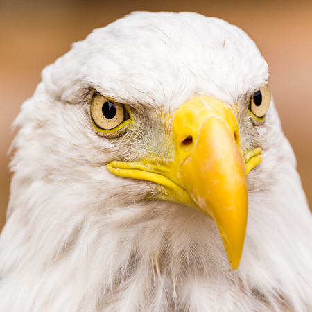 Square crop portrait of a Bald Eagle resting on the ground. Stock Photo