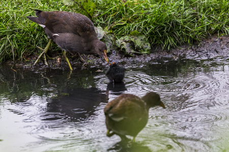 A tiny moorhen chick is fed on the edge of a shallow area of water in Norfolk seen during the summer of 2017. Stock Photo