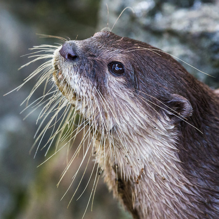 An Asian small-clawed otter fills the frame as it exits the water and looks towards a distraction in Norfolk during the summer of 2017.