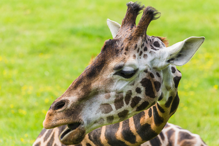 A giraffe seen chewing on grass as it lies on the floor in the sunshine - seen in Norfolk during the summer of 2017. Stock Photo