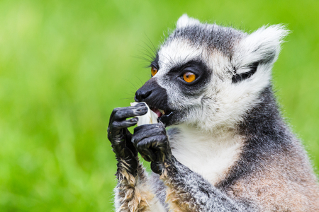b76dad247fd9 Headshot of a Ring-tailed lemur feeding itself in the long grass seen in the